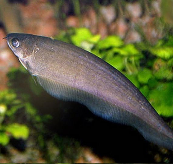 African-Knife-Fish